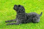 Cute Kerry Blue Terrier