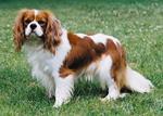 Cute King Charles Spaniel