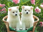 Cute Kishu dogs