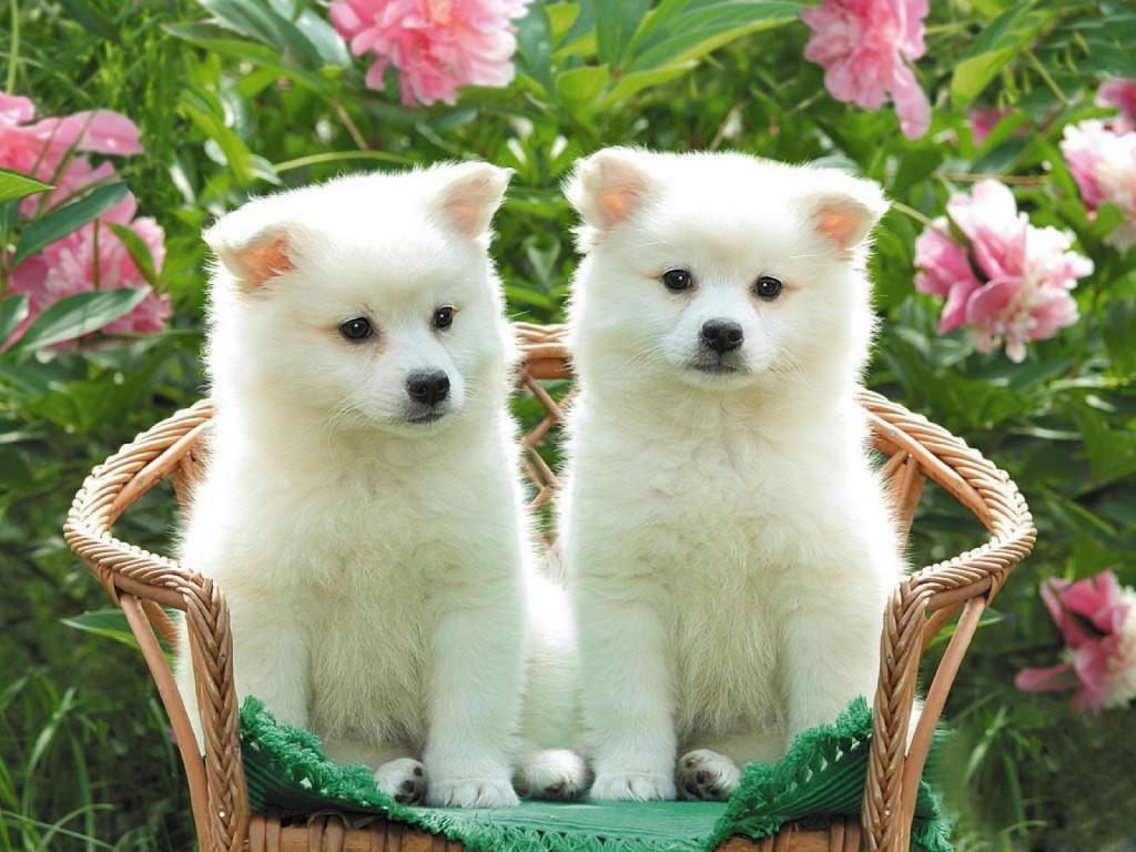 Cute Kishu dogs wallpaper