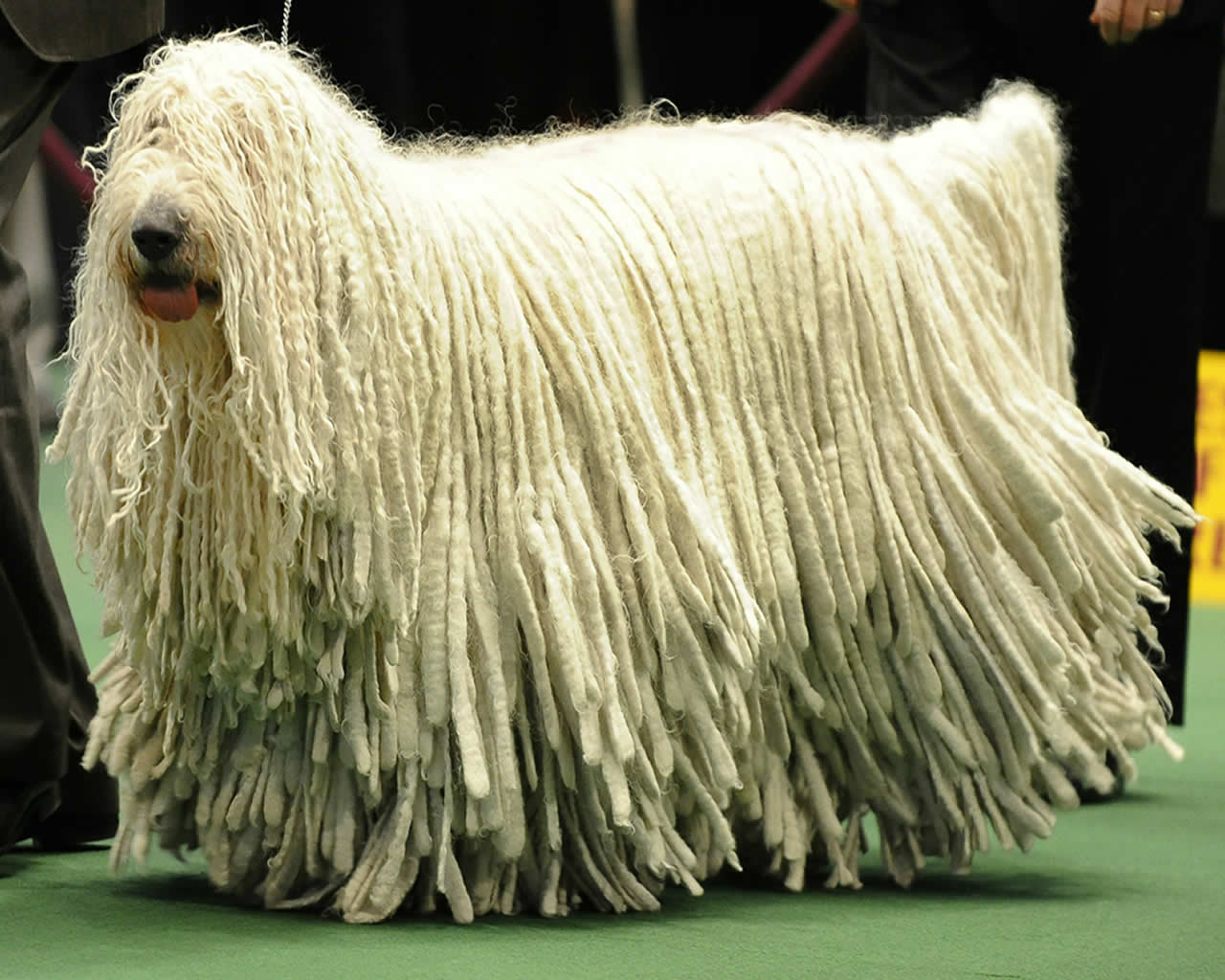 Cute Komondor dog wallpaper