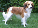 Симпатичная собака коикерхондье