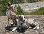 Cute Koolie dogs