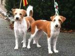 Cute Kromfohrländer dogs