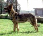 Cute Kunming Wolfdog