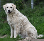 Cute Kuvasz dog