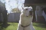 Cute Labrador Husky