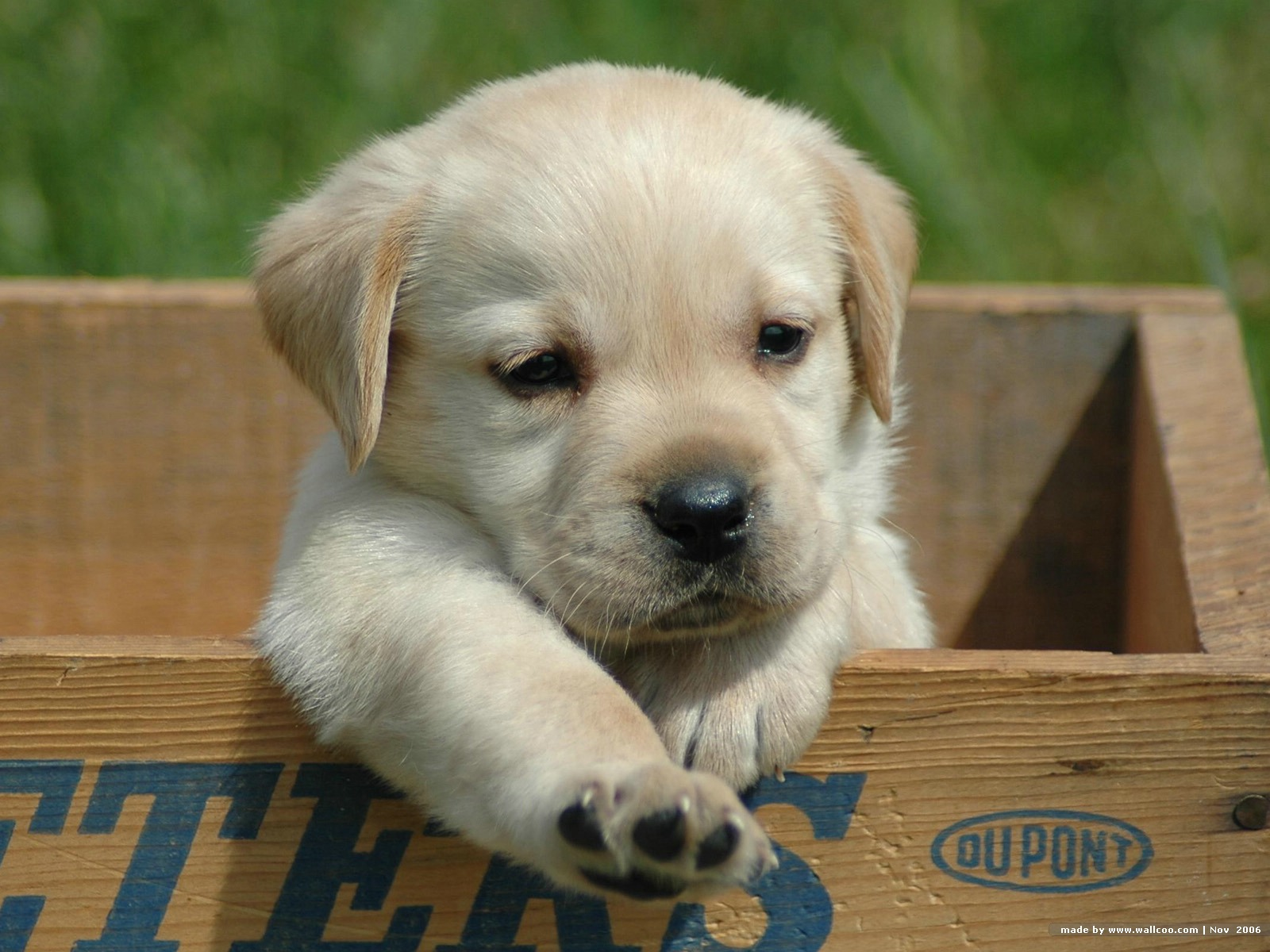 Cute Labrador Retriever puppy wallpaper