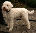 Cute Lagotto Romagnolo dog