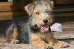 Cute Lakeland Terrier dog