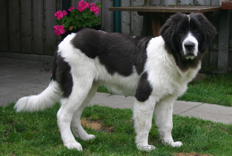Симпатичная собака ландсир фото