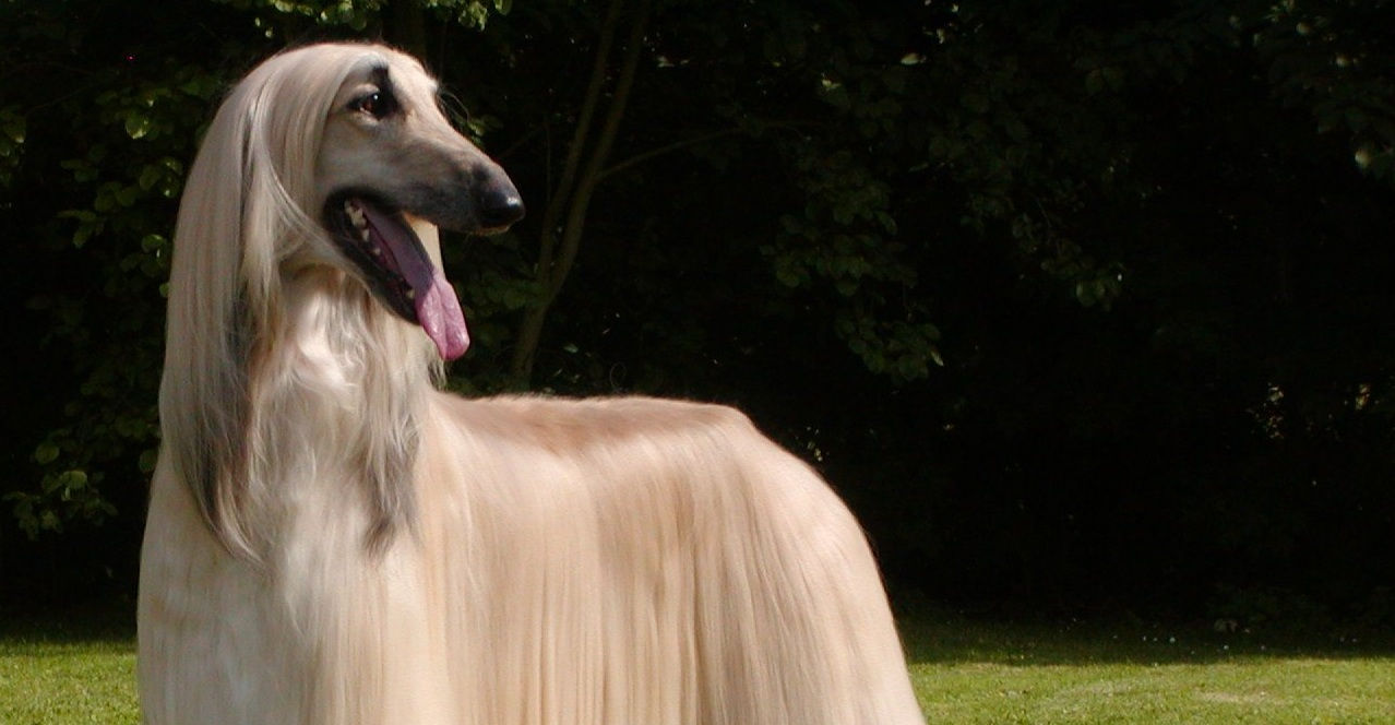 Cute light Afghan Hound wallpaper