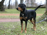 Cute Lithuanian Hound dog