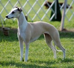 Cute Longhaired Whippet dog