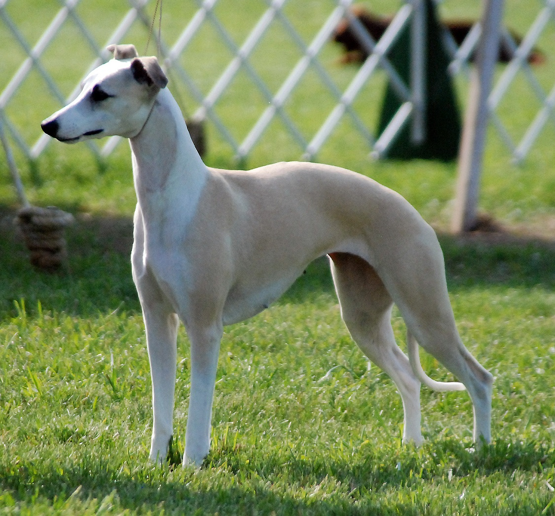 Cute Longhaired Whippet dog wallpaper