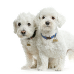 Cute Maltese dogs