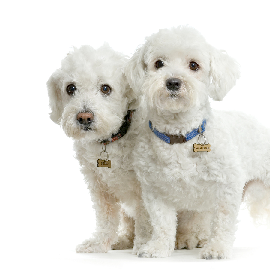 Cute Maltese dogs wallpaper