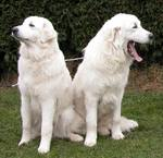 Cute Maremma Sheepdog dogs