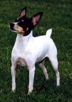Cute Miniature Fox Terrier dog