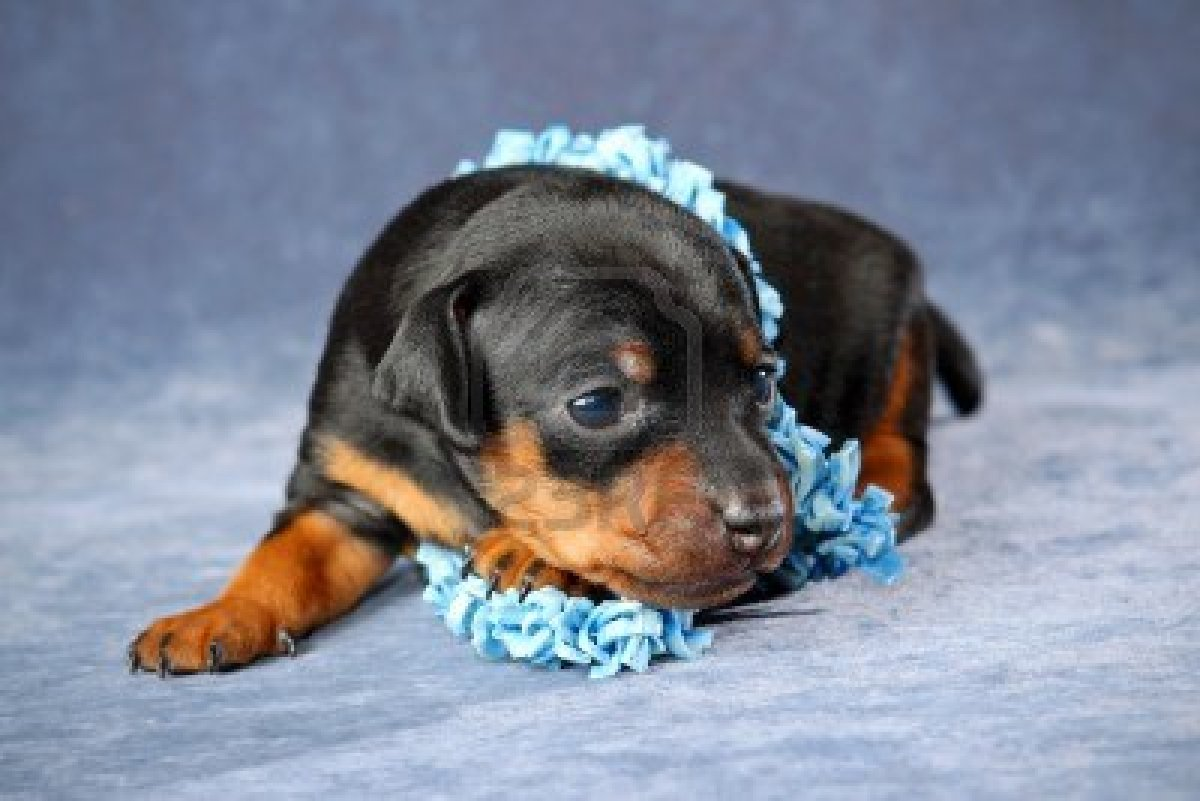 Miniature Pinscher Dog Puppy Miniature Pinscher Puppy