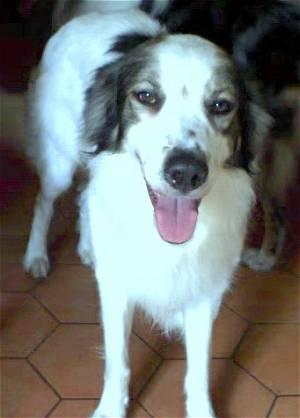 Симпатичная собака мукучиес фото