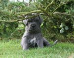 Cute Neapolitan Mastiff puppy