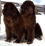 Cute Newfoundland dogs
