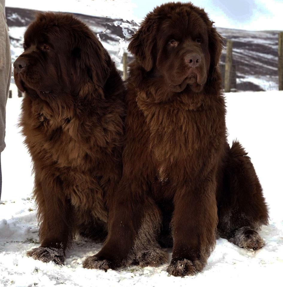 Cute Newfoundland Dogs Photo And Wallpaper. Beautiful Cute