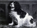 Cute Norfolk Spaniel