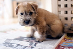 Cute Norfolk Terrier dog