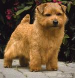 Cute Norfolk Terrier