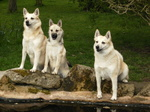 Cute Norwegian Buhund dogs