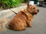 Cute Norwich Terrier