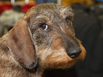 Cute old Alpine Dachsbracke dog
