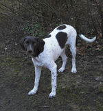 Cute Old Danish Pointer
