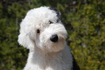 Cute Old English Sheepdog