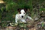 Cute Parson Russell Terrier dog