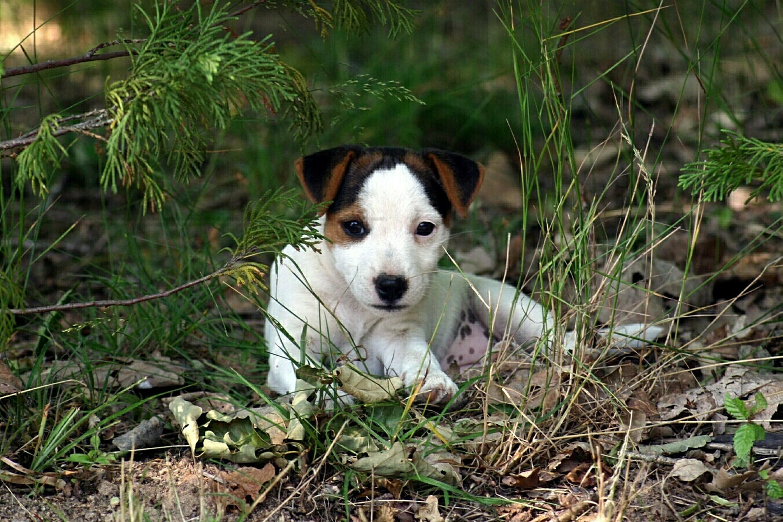 Cute Parson Russell Terrier dog wallpaper