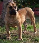 Cute Perro de Presa Canario dog