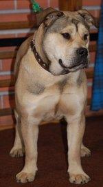 Cute Perro de Presa Mallorquin