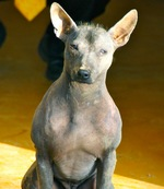 Cute Peruvian Hairless Dog