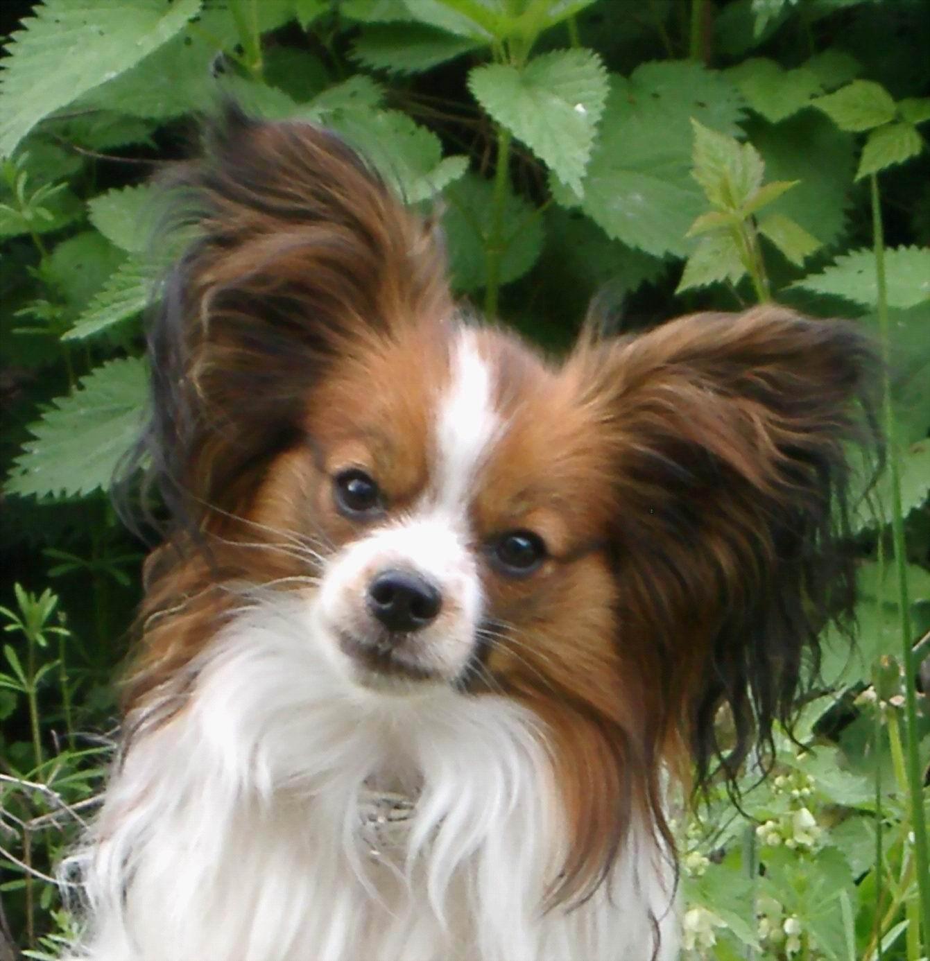 Cute Phalène dog face wallpaper