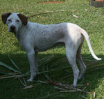 Cute Pointer dog