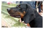 Симпатичная польская охотничья собака