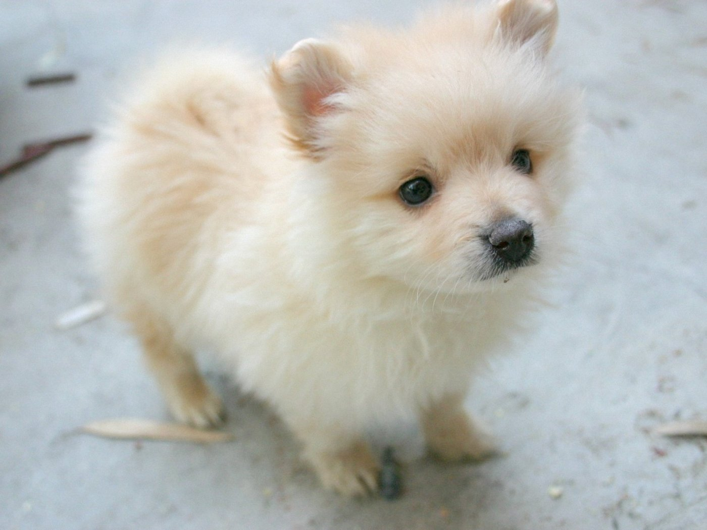 Cute Pomeranian dog wallpaper