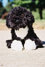 Cute Portuguese Water Dog