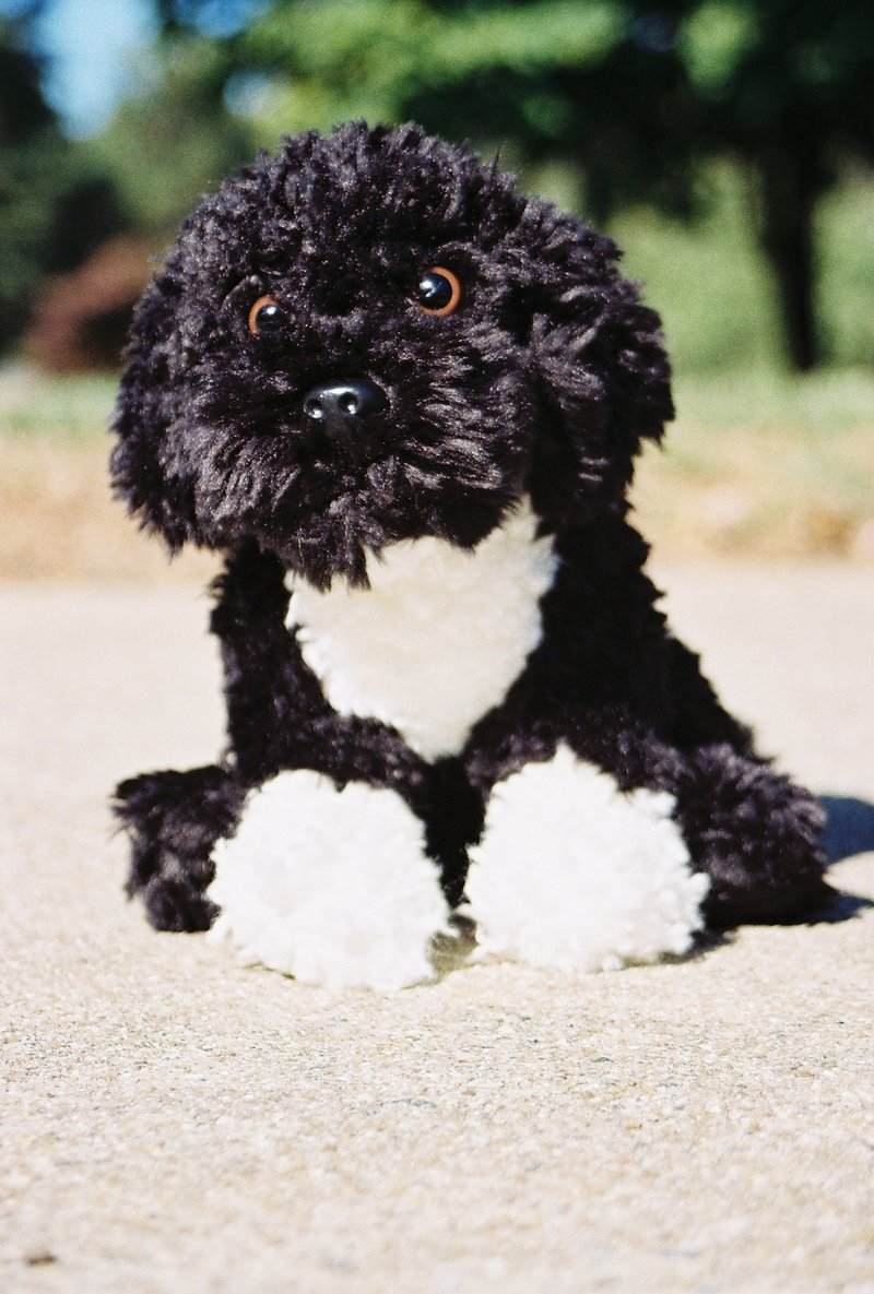 Pics Photos - Portuguese Water Dogs Are A Beautiful Breed They Were ...