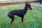 Cute Pražský Krysařík dog