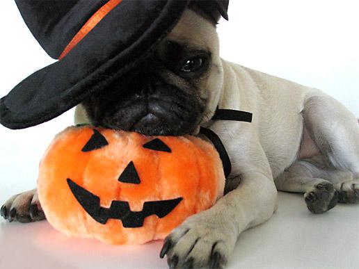 Cute Pug dog in hat wallpaper
