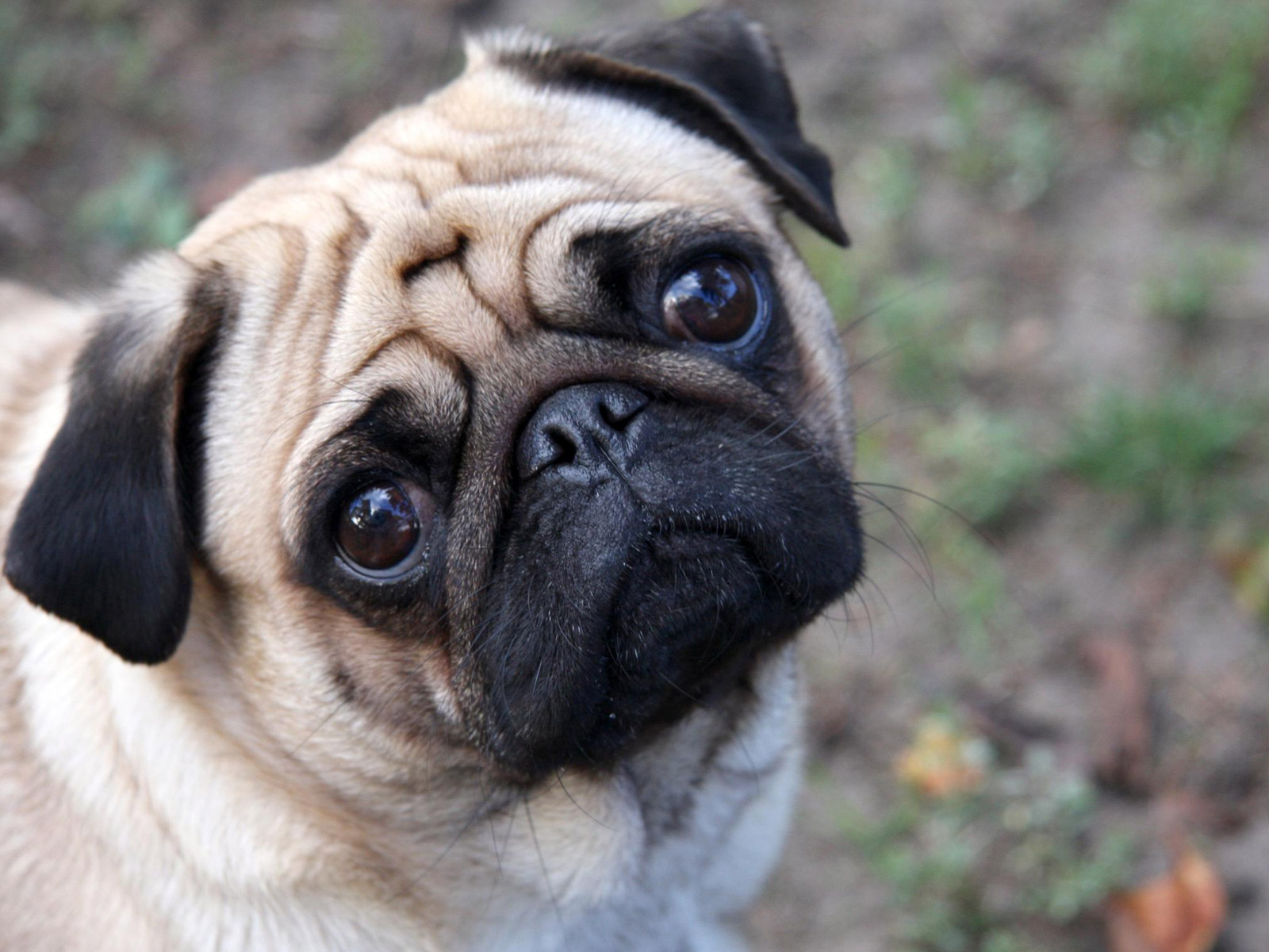 Pug Dog Wallpapers   KeJet  2